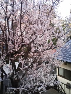 The apricot blossoms,not the cerry blossoms