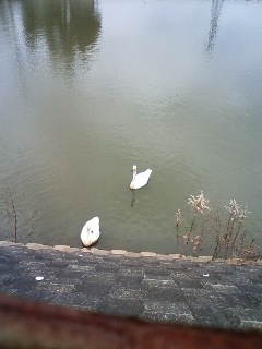 Swans in my neighborhood