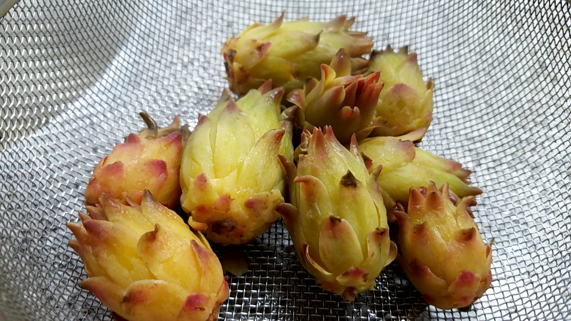Buds of dragon fruit